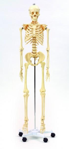 Menschliches Skelett in Lebensgröße