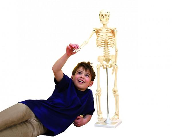 Kleines Skelett